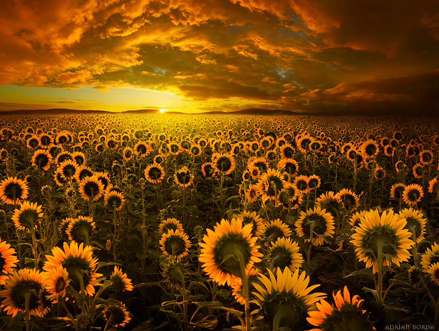 15. The home of Sunflower Fields