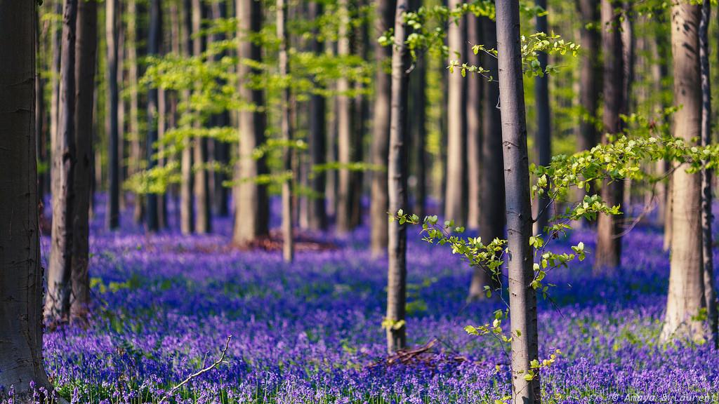 Halle Forest, Belgium