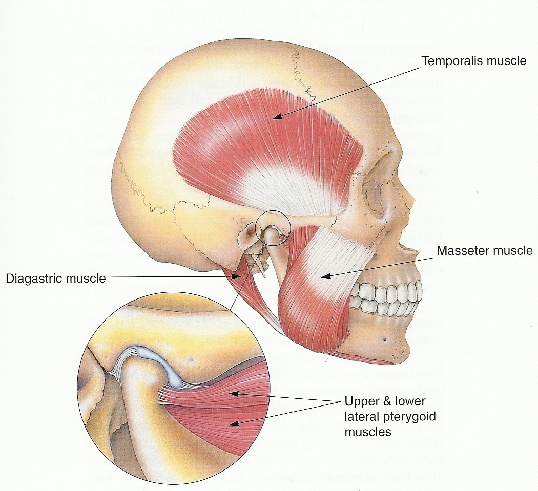 16. The masseter, or jaw muscle, is the strongest muscle in the human body