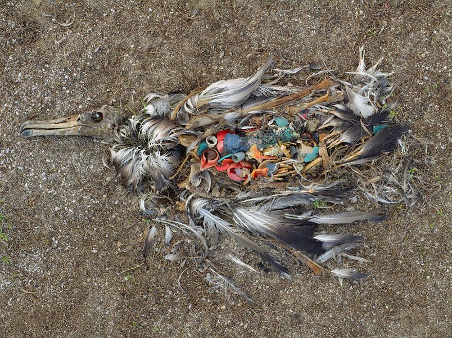 6. Dead Albatross (plastic ingestion)
